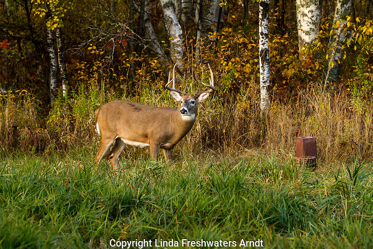 White-tailed buck and mineral block