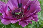 Vashon Island, WA<br /> Detail of a purple blossoming Oriental poppy (Papaver orientale 'Patty's Plum')