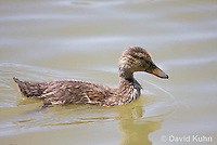 0219-1202  Mallard Duckling, Anas platyrhynchos  © David Kuhn/Dwight Kuhn Photography