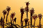 Amethyst Sunbird (Chalcomitra amethystina) male on Krantz Aloe (Aloe arborescens) at sunset, Kaapsehoop, South Africa