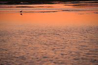 Europe/France/Aquitaine/33/Gironde/Bassin d'Arcachon/Ares: A l'aube  - Oiseau migrateur sur la vase