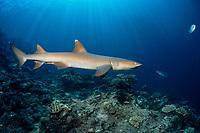 whitetip reef shark, Triaenodon obesus, Beqa Lagoon, Pacific Harbor, Viti Levu, Fiji, South Pacific Ocean