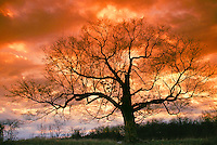 Bare oak tree, Querus species, in winter with dramatic sunset, Missouri USA