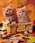 Xavier, ANIMALS, REALISTISCHE TIERE, ANIMALES REALISTICOS, cats, photos+++++,SPCHCATS883,#a#, EVERYDAY