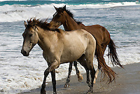 Pferde am Strand von Cabarete an der Nordküste, Dominikanische Republik