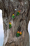 In their natural habitat, a flock of sparrow-sized Fischer lovebirds makes use of established nest cavities in trees dotting the Serengeti plains.