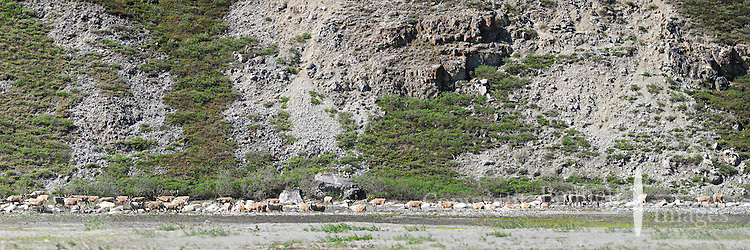 A herd of caribou heads up the bank from a gravel bar in the Hulahula River Canyon on a summer day in Alaska's Arctic National Wildlife Refuge. STITCHED PANORAMA 3 OF 3
