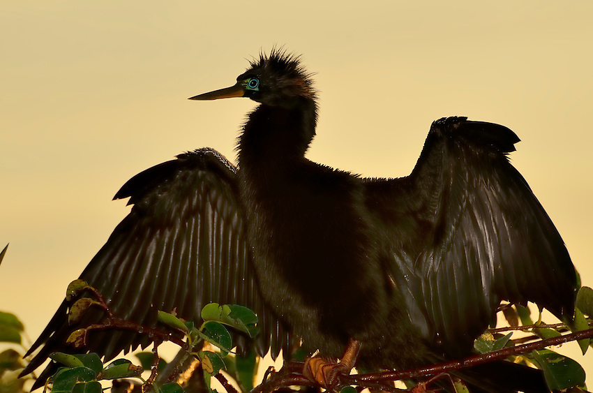 Anhingas stretch their wings to dry at every opportunity