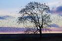 Common Starlings (Sturnus vulgaris) roosting in ash tree at dusk. Peak District National Park, Derbyshire. UK. February.