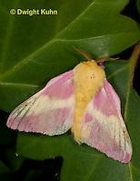 LE44-528z  Rosy Maple Moth Male - Dryocampa rubicunda