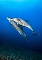 common bottlenose dolphin, Tursiops truncatus, pair, San Benedicto, Revillagigedo Islands, Mexico, Pacific Ocean