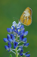 Common Mestra (Mestra amymone), adult on Texas Bluebonnet (Lupinus texensis), Fennessey Ranch, Refugio, Corpus Christi, Coastal Bend, Texas Coast, USA