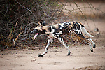 Adult Painted Hunting Dog or African Wild Dog (Lycaon pictus) near the Luangwa River. South Luangwa National Park, Zambia.