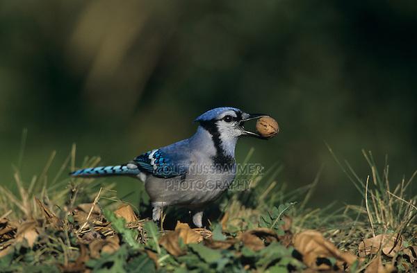 Blue Jay, Cyanocitta cristata, adult with Pecan, San Antonio, Texas, USA, Oktober 2003