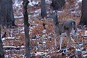 00275-194.02 White-tailed Deer (DIGITAL) doe with legs that are extra white is in oak forest during fall.  Hunt, Hunting, Piebald.  H4L1