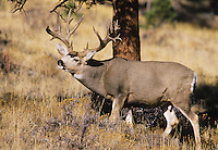 Mule Deer, Black-tailed Deer (Odocoileus hemionus), Trophy buck, Colorado, USA