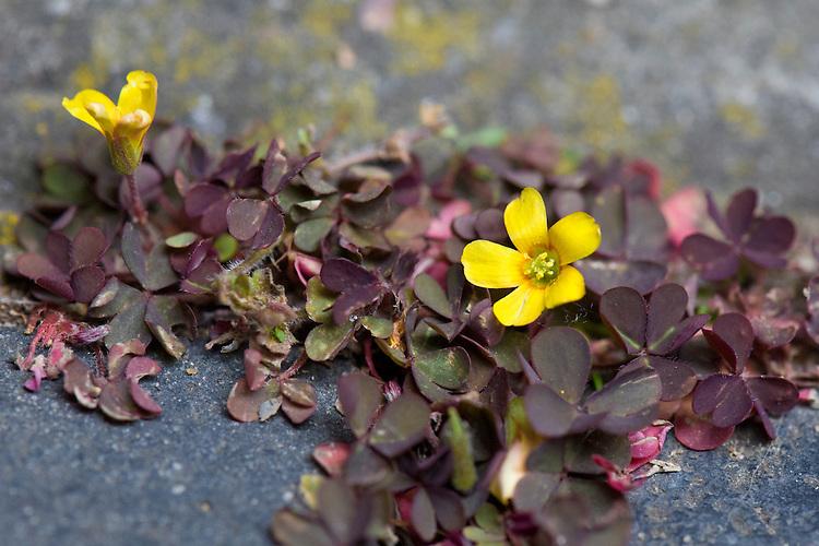 Procumbent yellow-sorrel (Oxalis corniculata var. artropurpurea) growing in the cracks between paving slabs, mid May.