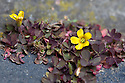 Procumbent yellow-sorrel (Oxalis corniculata var. artropurpurea) growing in the cracks between paving slabs, mid May.