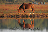 Bob, ANIMALS, REALISTISCHE TIERE, ANIMALES REALISTICOS, horses, photos+++++,GBLA4464,#a#, EVERYDAY