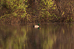 Drake mallard swimming in the late afternoon light.