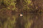 Drake mallard swimming in the late afternoon light.