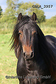 Bob, ANIMALS, REALISTISCHE TIERE, ANIMALES REALISTICOS, horses, photos+++++,GBLA3957,#a#, EVERYDAY