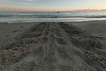 Leatherback turtle tracks on the sand.