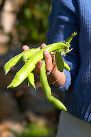 Green Beans in the vegetable garden picked and held in a hand a fistful handful Clos des Iles Le Brusc Six Fours Cote d'Azur Var France