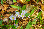 Spring Beauty - Claytonia virginica- during the spring months on the side of  Lowes Path  in  the White Mountains, New Hampshire USA