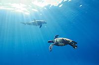Indo-Pacific bottlenose dolphin, Tursiops aduncus, Bonin Islands, Ogasawara, Tokyo, Japan, Pacific Ocean, with turtle