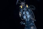 Mantis w Yellow eyes, Anilao 2019