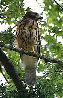 Red-shouldered hawk juvenile in tree