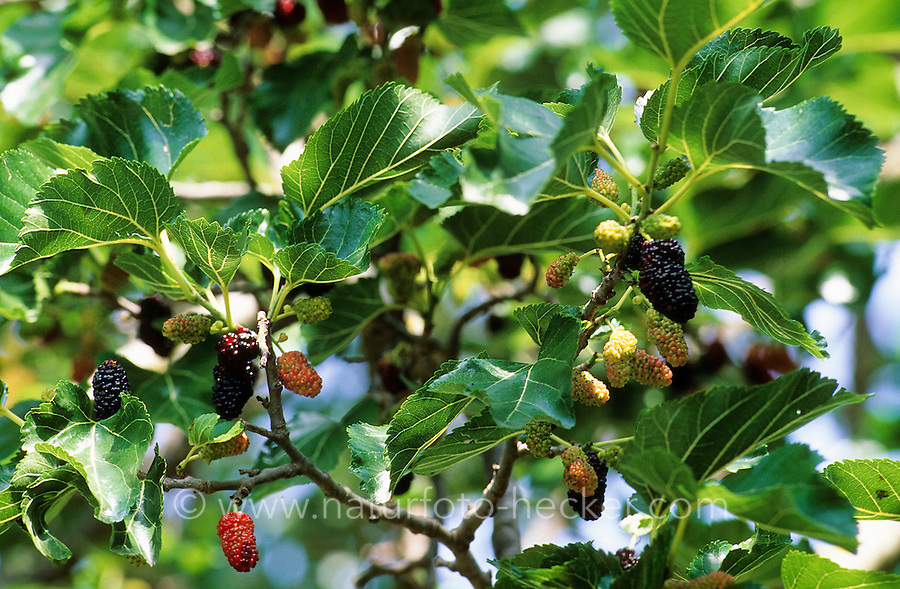 Schwarzer Maulbeerbaum, Früchte, Maulbeere, Maulbeeren, Morus nigra, Black Mulberry, Common Mulberry