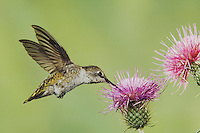 Anna's Hummingbird, Calypte anna, female in flight feeding on Thistle, Paradise, Chiricahua Mountains, Arizona, USA, August 2005..