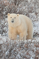 Polar Bear standing amongst snow and brush