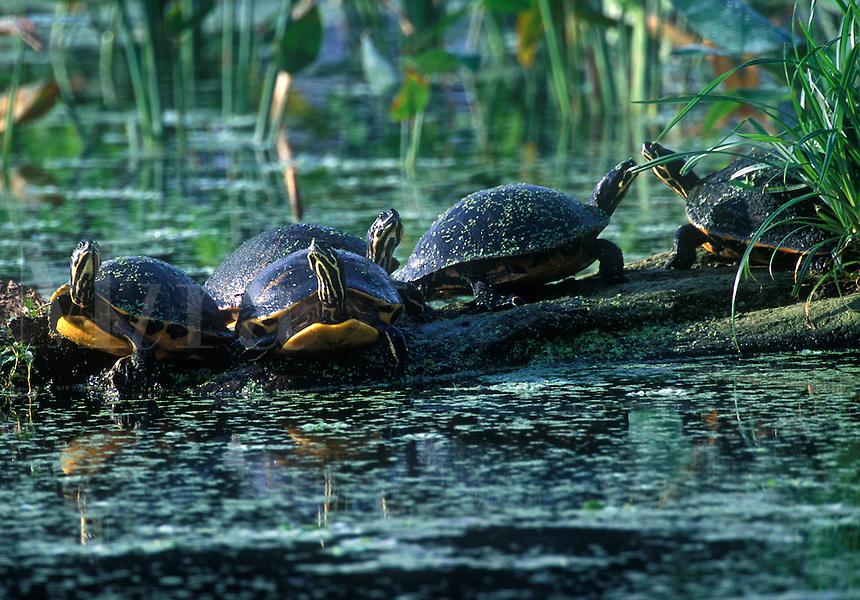 Turtles basking on log, Wakodohatchee Wetlands, Delray, Florida