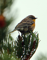 Yellow-rumped warbler female, Audubon's form