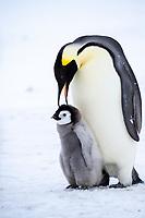 Snow Hill Island, Antarctica. Emperor penguin parent nurturing chick.