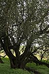 Israel, Sharon region, Carob trees in Park Hasharon Nature Reserve