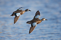 Blue-winged Teal (Anas discors), male and female in flight at the Salton Sea State Recreation Area, Mecca, California.