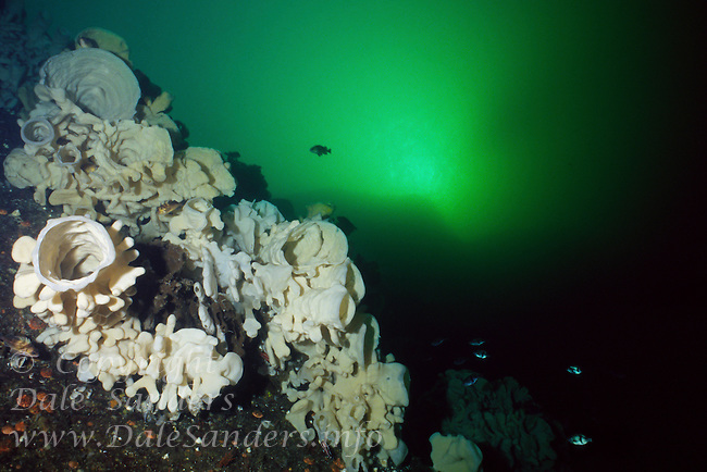 A wall of giant Cloud Sponges (Aphrocallistes vastus) underwater in Agamemnon Channel on British Columbia, Canada's Sunshine Coast.