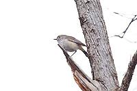 Inland Thornbill, near Arkaroo Rock,  Flinders Range, SA, Australia