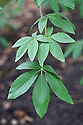 Leaves of California buckeye (Aesculus californica), late March. Also known as California horse chestnut.