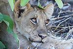 Male Lion cub (Panthera leo) resting under a bush. South Luangwa National Park, Zambia.