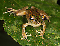 A bush frog photographed during a night walk in Borneo.