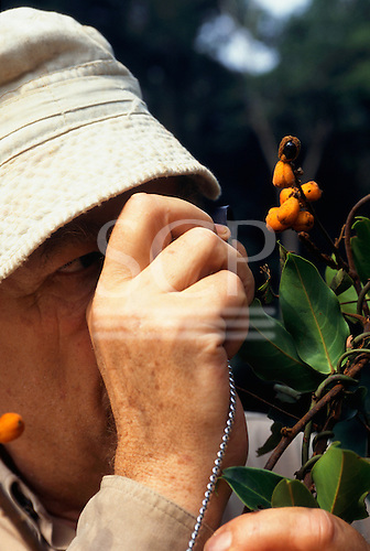 Makande, Gabon. Frans Breteler with Agelaea sp., a plant with fruits previously only known by its flowers.