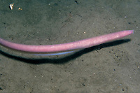 Atlantic hagfish, Myxine glutinosa, aka slime eel, jawless fish, feeds on dead and dying fish, Sognefjord, Norway, Atlantic Ocean
