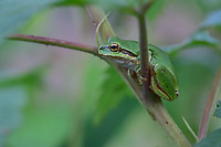 Pacific tree frog (Pseudacris regilla), also known as the Pacific chorus frog on backyard raspberry bush.  Pacific Northwest