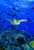 Green sea turtle and reef fish