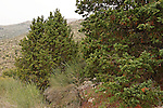 T-078 Prickly Juniper in the Golan Heights